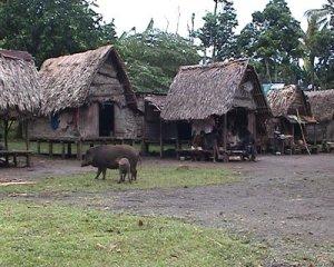 New Guinea Pigs